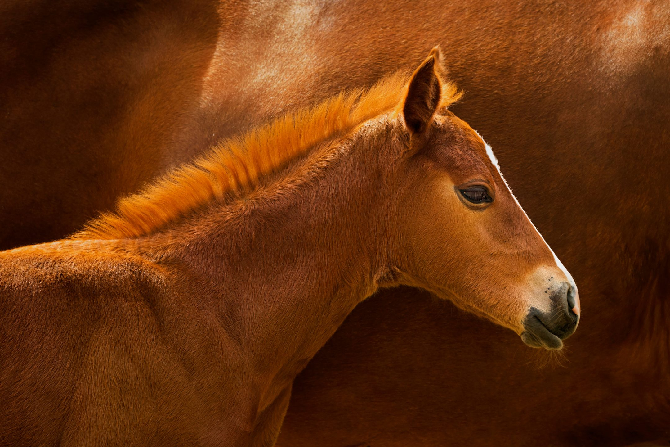 A young foal stands in front of its mother at Cal Poly