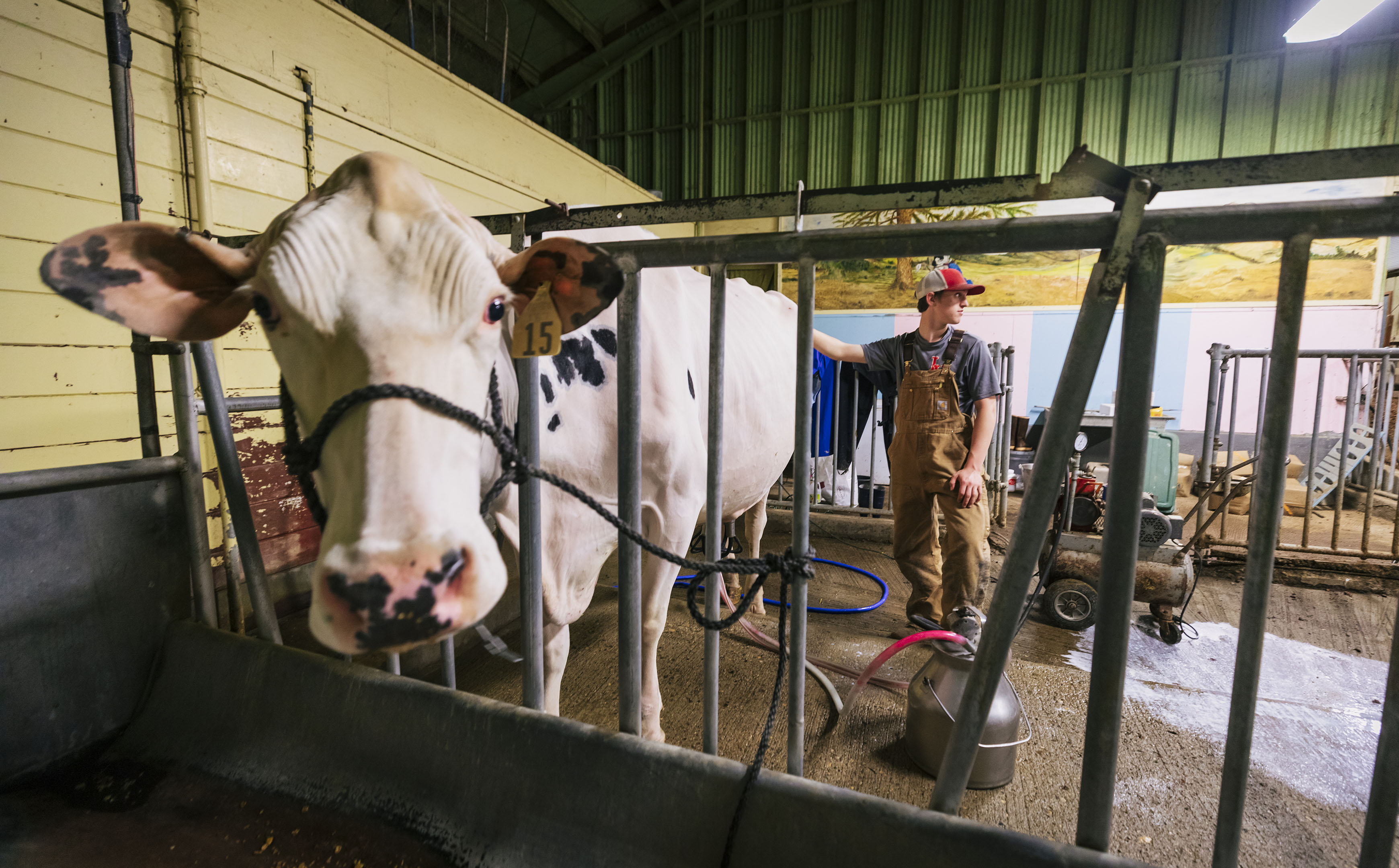 A young man stands next to a white cow with black spots held in the Cal Poly Dairy Unit