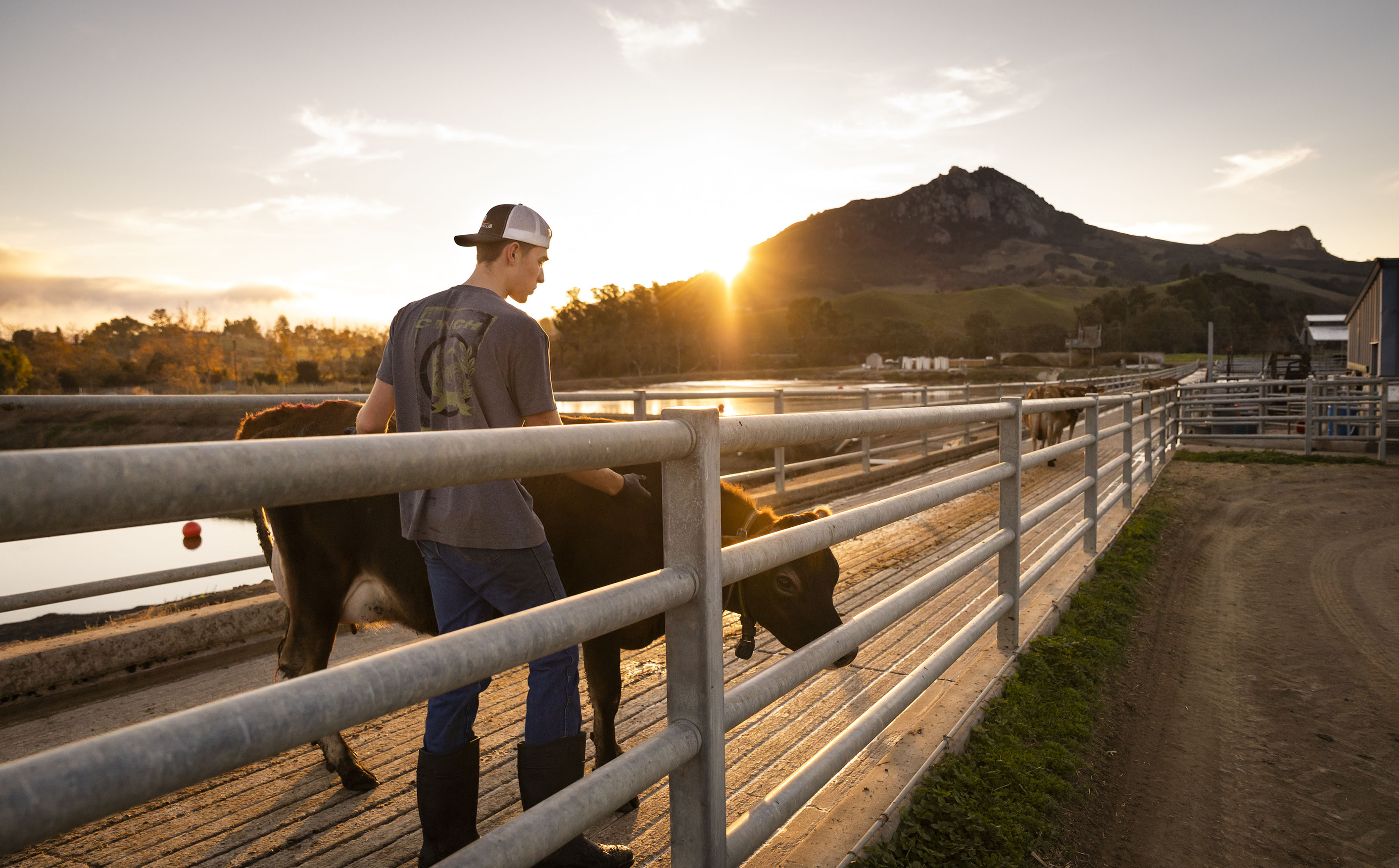 A young male student walks with a brown cow as the sun sets over Bishop Peak