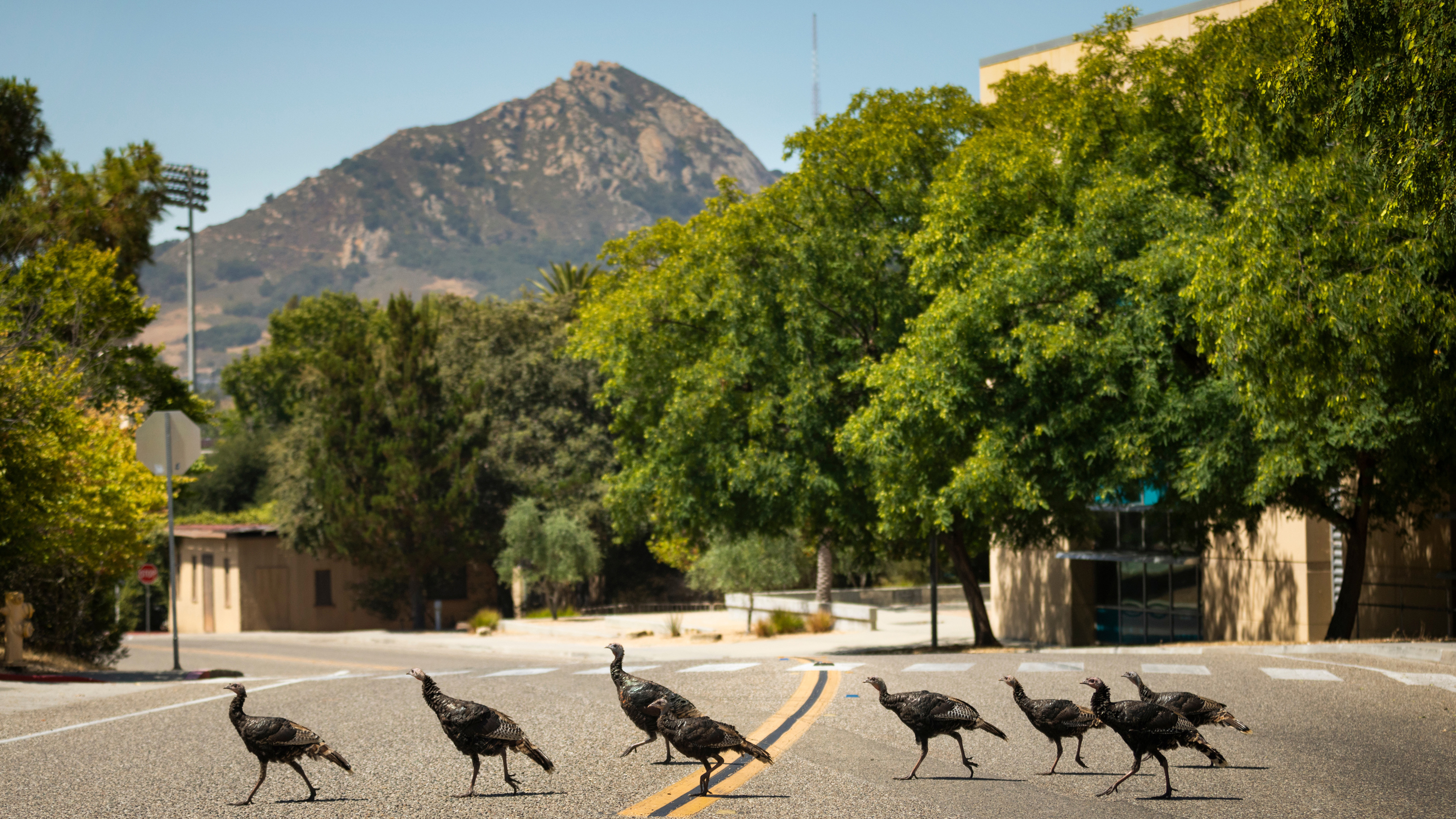 Eight turkies cross a road on Cal Poly's campus in front of Bishop Peak