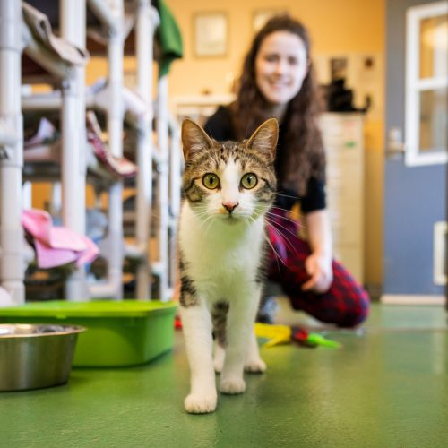 A grey and white cat walks on the floor of a shelter in front of a woman