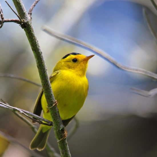 A small yellow bird perched on a thin branch