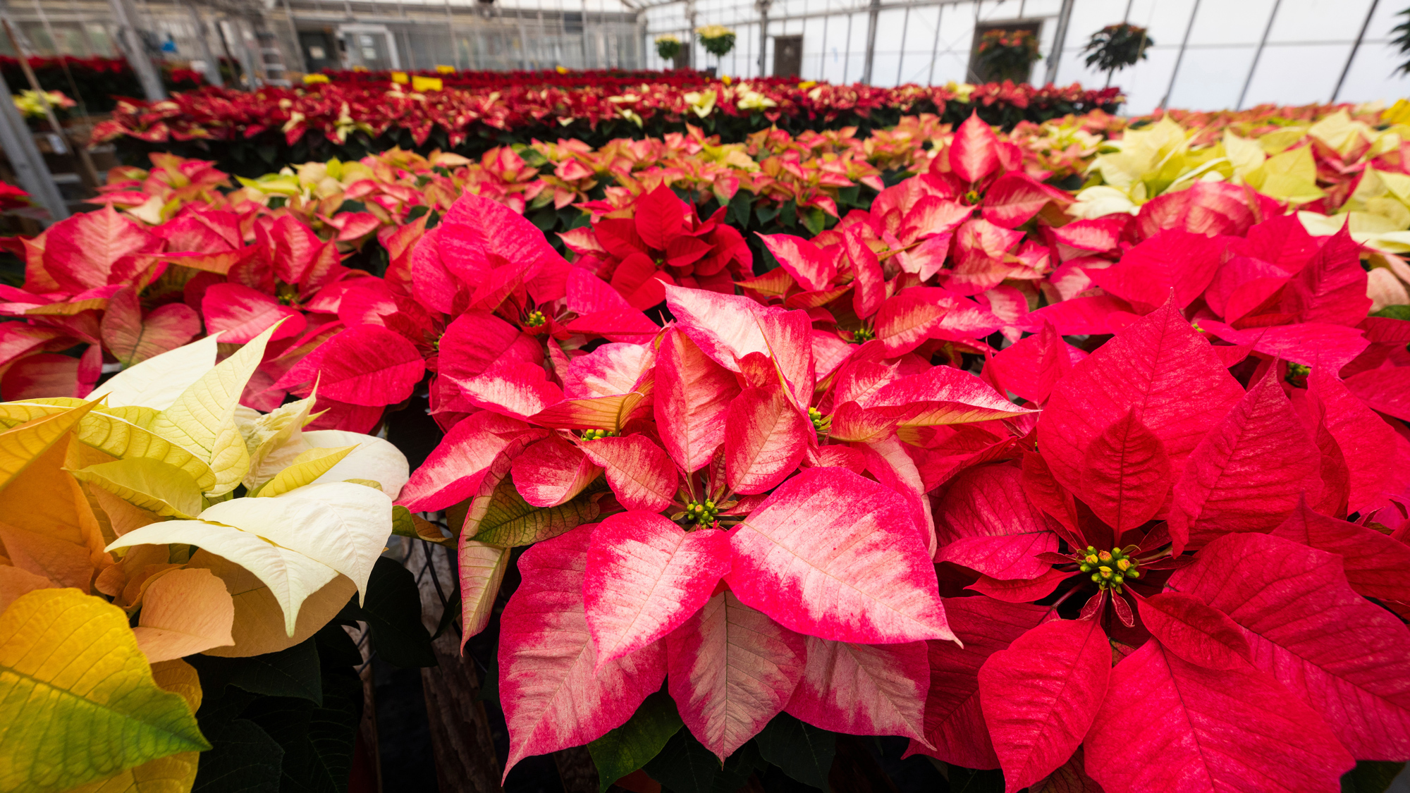 Pink, yellow and red poinsettias in a greenhouse