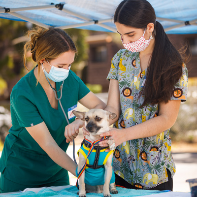Two veterinary student volunteers take the pluse of a chihuahua